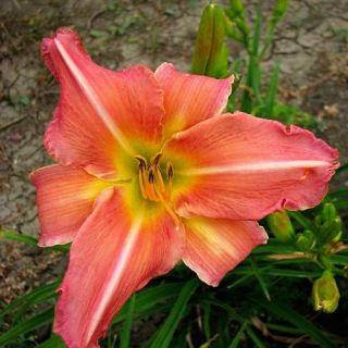 Iron Gate Melody Pink DAYLILY DF Live Plants Perennial Flowers