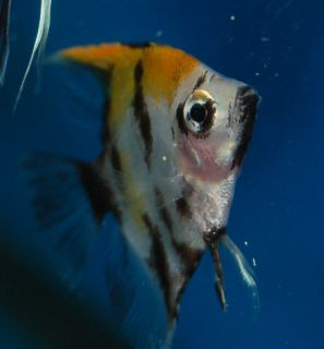 Angelfish Nickle to Quarter Size Live Freshwater Tropical Fish