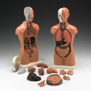 Male Human Torso Model Anatomical Anatomy 16 5 Tall
