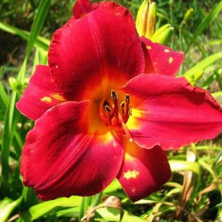 Rahotep Red DAYLILY DF Live Plants Perennial Flowers