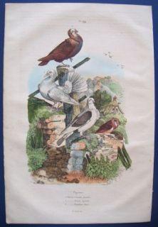 1839 Guerin Antique Bird Print Pigeon Cravatte Nonain