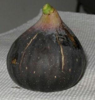 Live Plant Black Madeira Fig Tree