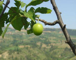 Kastarca Plum 5 Fresh Seeds RARE Anatolian