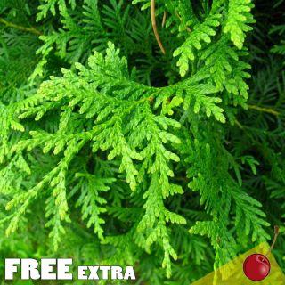 White Cedar Eastern Arborvitae Thuja Occidentalis 250 Extra Seeds Bulk