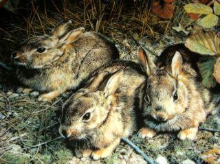 Carl Brenders Woodland Friends 3 Baby Rabbits SHY EXPLORERS Plate +COA