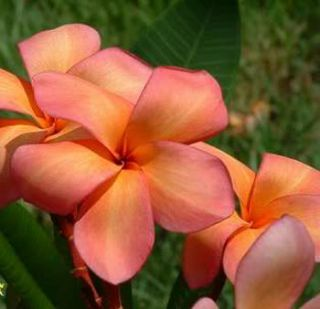 Plumeria Frangipani Orange Punch Flower 50 Seeds