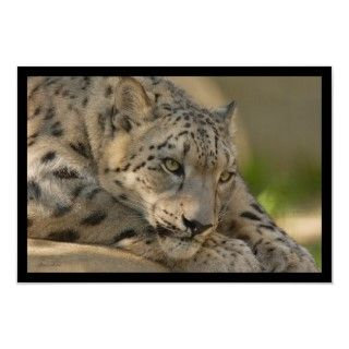 Snow Leopard, an endangered species, resting on a rock.