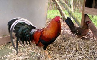Herman Pinnon Yellow Leg Hatch 7 Gamefowl Hatching Eggs