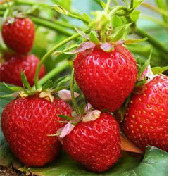 25 Honeoye Strawberry Plants Crowns Roots Fruit Bare Root Home Garden
