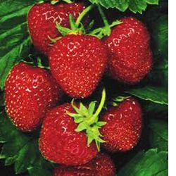 25 Herriot Strawberry Plants Crowns Roots Fruit Bare Root Home Garden