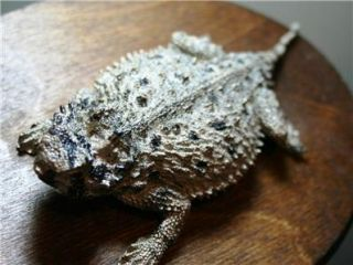 Texas Horny Toad Replica Mount Fiberglass TCU Fierce
