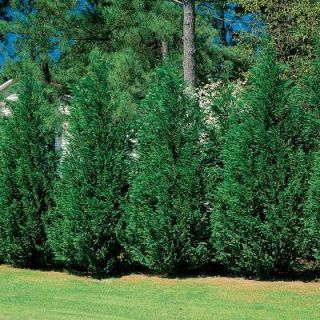 PG Leyland Cypress Hedge or Screen Actual Picture of Plant Nice Start