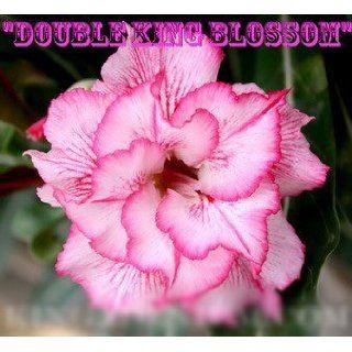 20 Fresh Seeds Adenium Obesum Desert Roses Rare Double