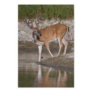 Whitetail Buck in Velvet Posters