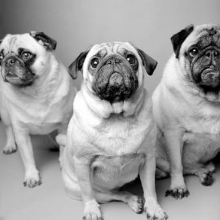 Pug Carlin Mops Hund Black White Dog Art Photo Print
