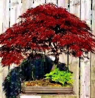 Inaba Shidari Lacy Weeping Japanese Maple Tree Crimson 5 Fresh Seeds