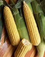 Sweet Corn Seed Incredible Sweet Corn Seeds Fresh Seed