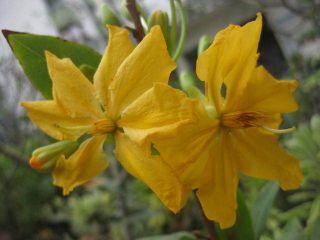 Ochna Integerrima Lucky Tree Yellow Flower Nice Plant EMS Shipping