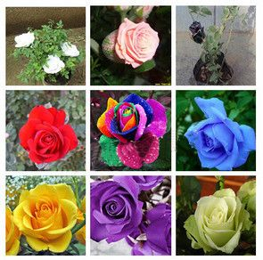 20 x Rose Flower Seeds Multicolour Rose Seeds Roses Seeds