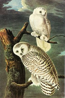 "Audubon Snowy Owl by John James Audubon 20""x26"" Art on Canvas"