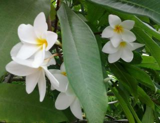 ONE WHITE PLUMERIA CUTTING ON SALE!!!!! LIMITED SUPPLY!!!!!