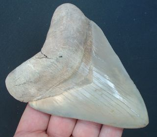Massive 5 Lee Creek Aurora Megalodon Tooth Experty Repaired