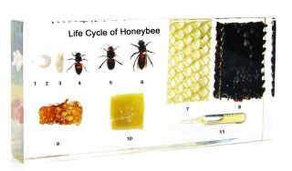 Life Cycle of Honey Bee Apis Mellifera Insect Specimen