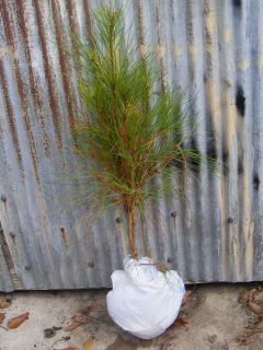 ft 24 Long Leaf Pine Tree
