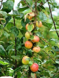 Ralls Janet Apple Malus Pumila 30 Extra Seeds Edible
