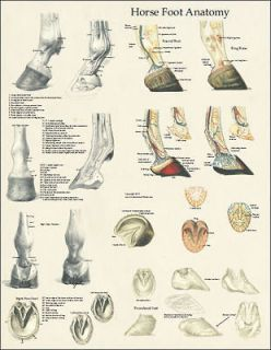 Newly listed Horse Equine Foot Hoof Anatomy Laminated Poster Wall