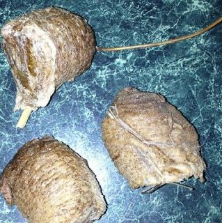 Newly listed 3 Chinese PRAYING MANTIS EGG CASES MARYLAND Jumbos