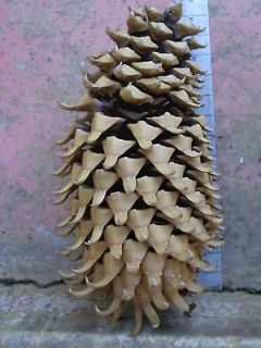 HUGE 14 inch California Coulter Pine Cone n9