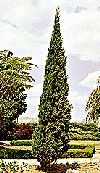 Italian Cypress   Fast Growing Evergreen Tree, 12 18 in. Plant for